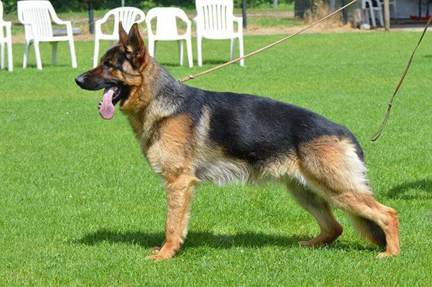دراسة ألمانية:  الكلاب تستطيع اكتشاف الإصابة بكورونا
